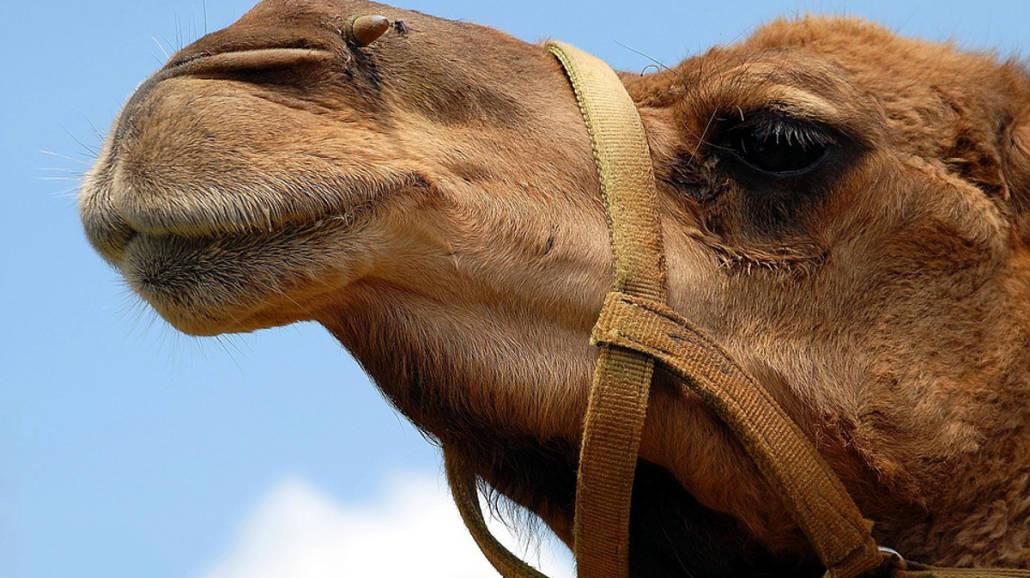 Wielbłądy z botoksem w ustach! Konkurs piękności ze skandalem w tle